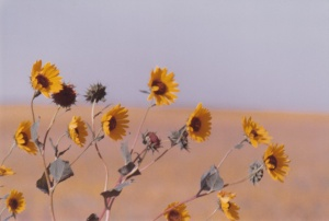 Wild Sunflowers East of Denver #2 (1979) by Mark D. Jones
