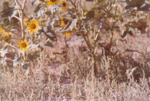 Wild Sunflowers East of Denver #3 (1979) by Mark D. Jones